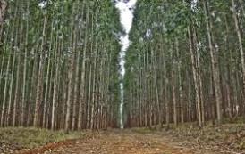 Ministério Público recorre de decisão que libera plantio de eucalipto em Mucurici e Ponto Belo