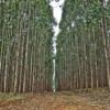 Resultado de imagem para Justiça capixaba mantém decisão que proíbe plantio de eucalipto em Montanha