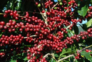 No Pedeag 3 foram debatidas várias cadeias produtivas, entre elas, o café.
